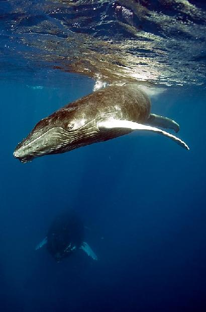 Atlantic Humpback Whale