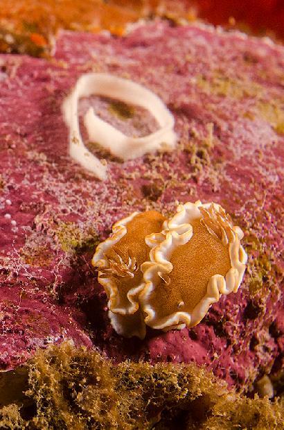 White Margin Nudibranch