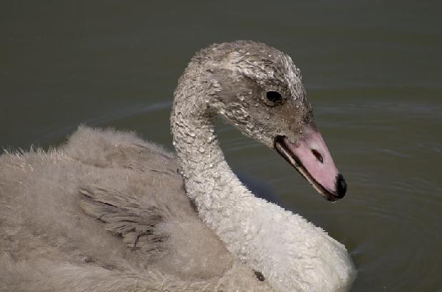 Trumpeter Swan Cygnet