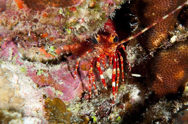 Banded Lobster