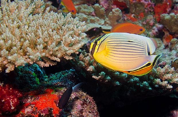 Red Fin Butterflyfish