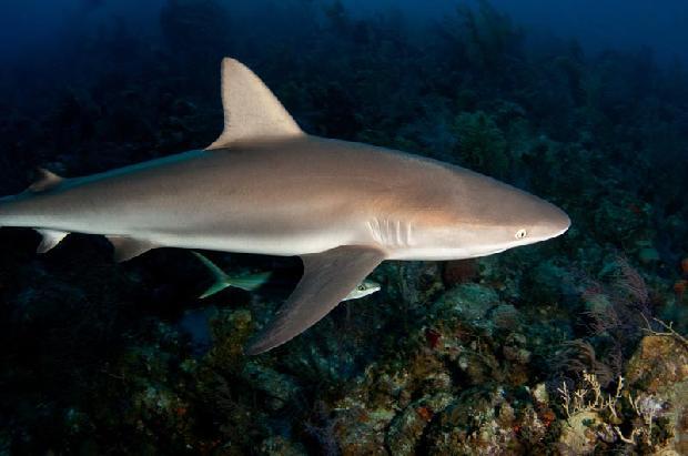 Black Tipped Reef Shark