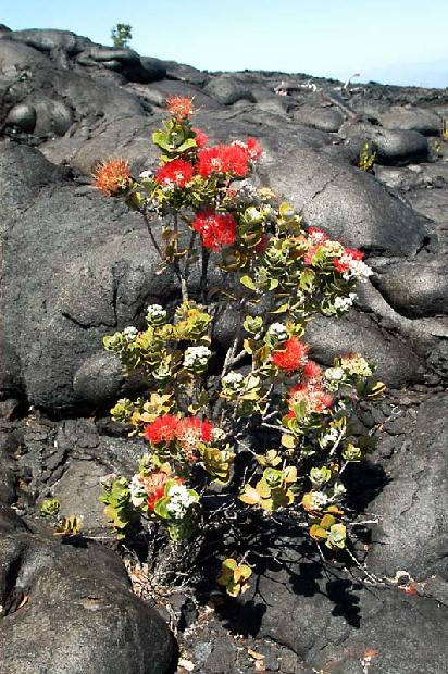 Wildflowers in Volcanic Lava