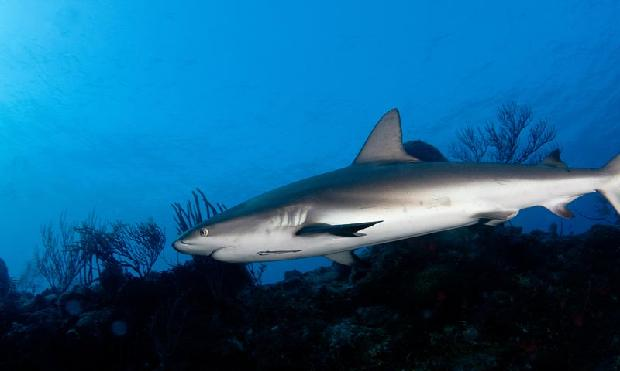 Black Tipped Reef Shark