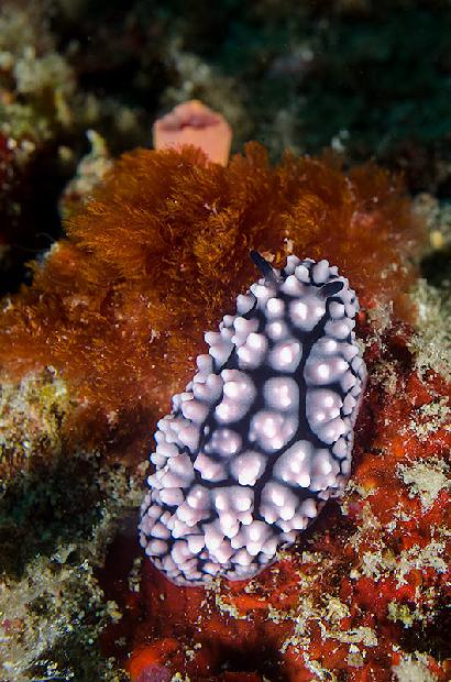 Strawberry Nudibranch
