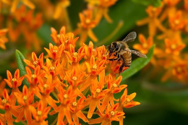 Bee on Fireweed