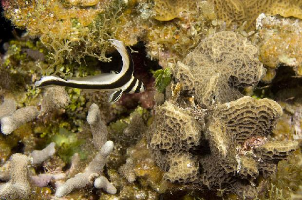 Spotted Drum Fish (juvenile)