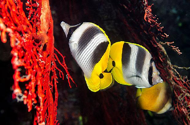 Double Saddled Butterflyfish