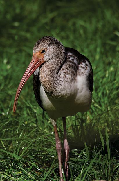 White Ibis (juv.)