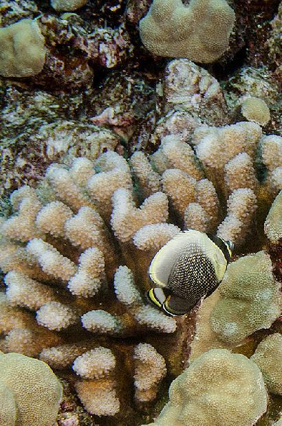 Tinker's Butterflyfish