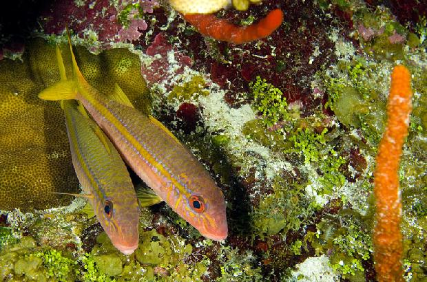 Yellow Goatfish