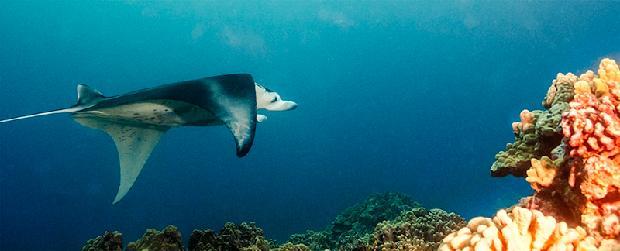Pelagic Manta Ray