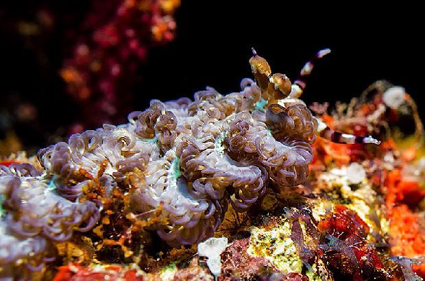 Blue Dragon Nudibranch