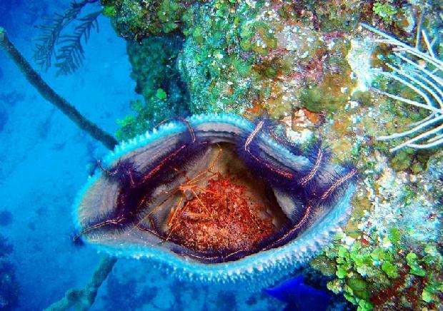 Arrow Crab and Brittle Starfish inside sponge
