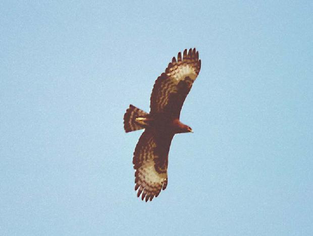 Long-Crested Hawk Eagle