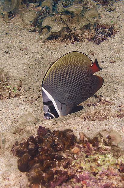 Red Tailed Butterflyfish