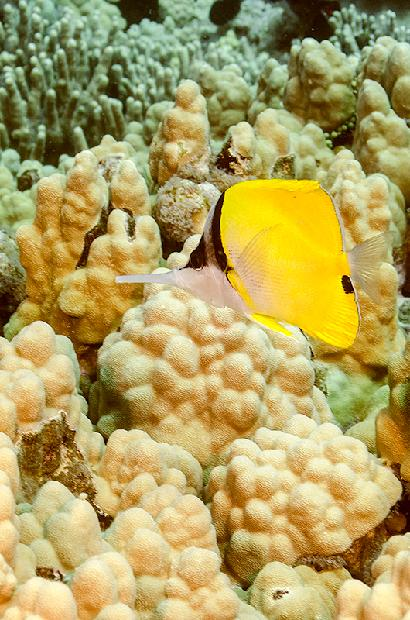 Needle Nose Butterflyfish