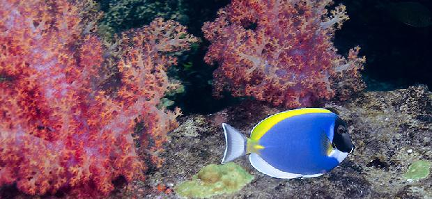 Power Blue Tang
