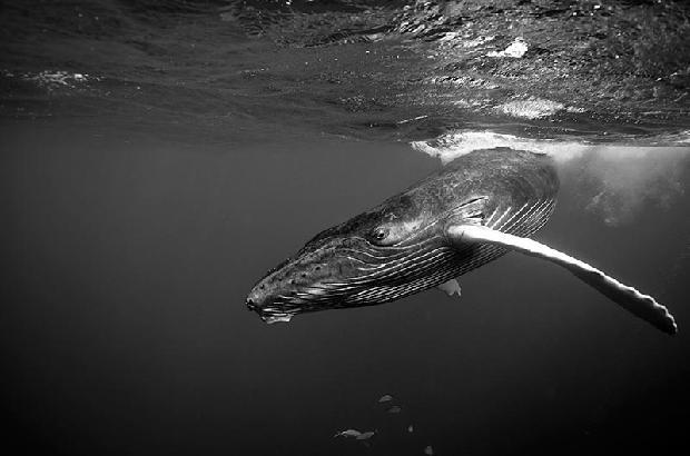 Atlantic Humpback Whale