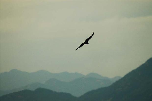 Hawk over Hong Kong Harbor