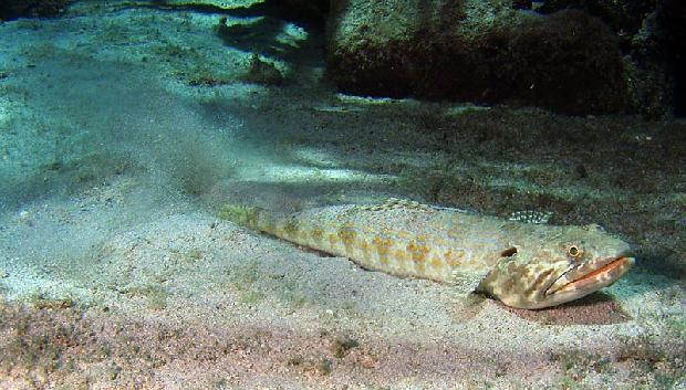 Snakefish