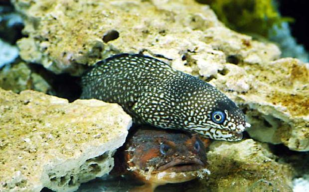 Spotted Moray Eel & Toadfish