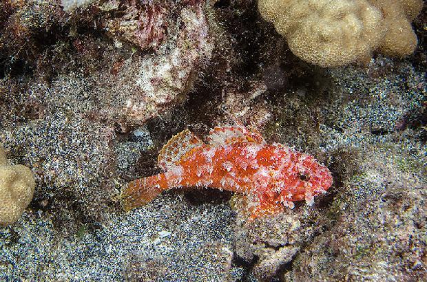Decoy Scorpian Fish
