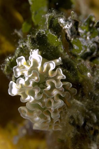 Lettuce Nudibranch