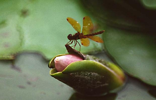 Dragonfly on Lily
