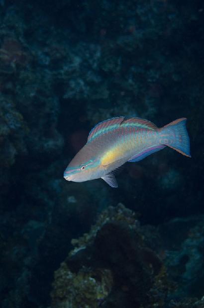 Princess Parrot Fish