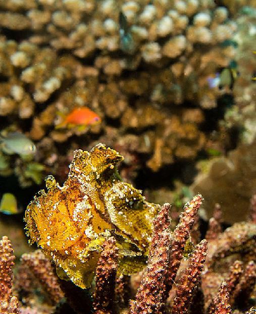 Leaf Scorpianfish