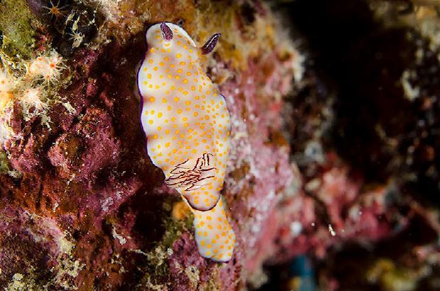 Risbecia Pulchella Nudibranch