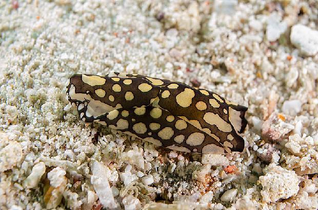 Headshield Slug (Philinopsis pilsbryi)