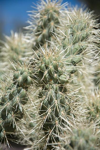Chain Link Cholla Cactus
