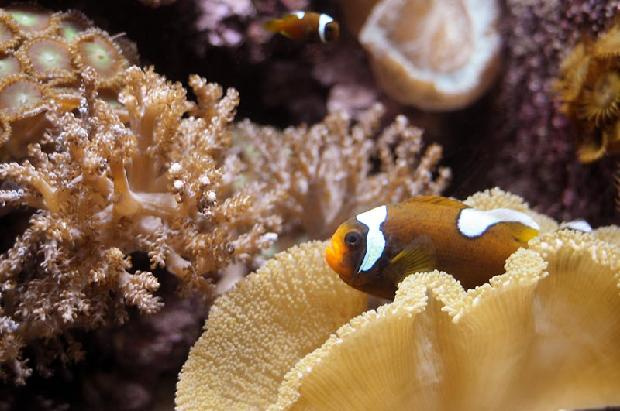 Whitecapped Clownfish