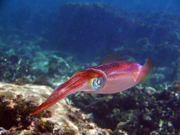 Carribean Reef Squid