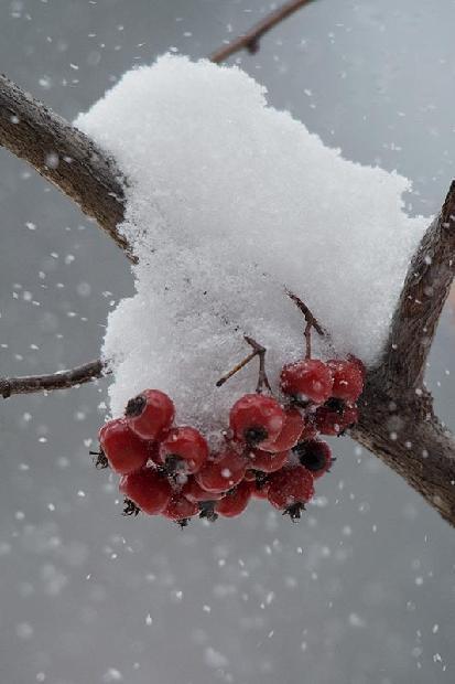 Washington Hawthorne Berries