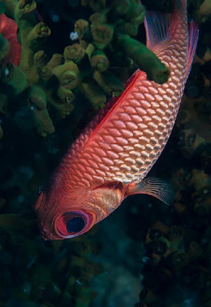 Big Eye Black Bar Soldierfish