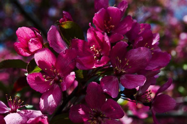 Flowering Crab Tree