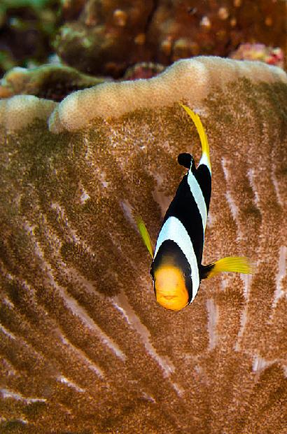 Balack Saddle Back Clownfish