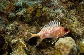 LONGSPINED SQUIRRELFISH