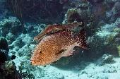 TIGER GROUPER WITH TRUMPETFISH