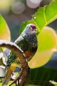 MARIANA FRUIT-DOVE