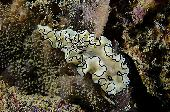 BLACK MARGINED GLOSSODORIS NUDIBRANCH