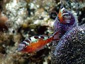 TABACCO FISH