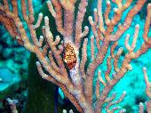 FLAMINGO TONGUE ON CORAL