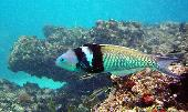 BLUE HEADED WRASSE