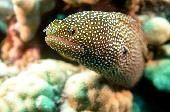 WHITE MOUTHED MORAY EEL