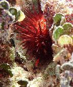 URCHIN AND JUVENILE FISH