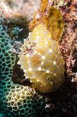 GOLDEN LACE NUDIBRANCH